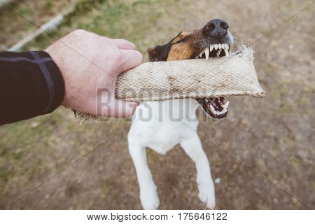 Playful dog chewing dog toy