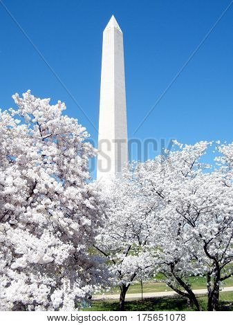 Cherry Blossoms around Washington Monument in Washington DC USA