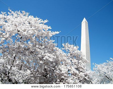 Cherry Blossoms in front of Washington Monument in Washington DC USA