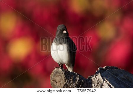 Dark-eyed Junco perched on a tree stump in Wisconsin in the autumn.