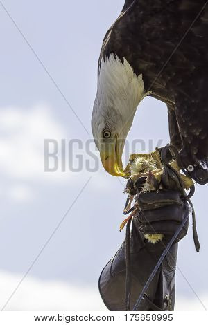Art of falconry. Falconer holding an American bald eagle with leather gloved hand. Sums up the majesty of working with these beautiful birds of prey. Great display poster image with copy space.