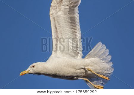 Close-up of a black-backed seagull in flight with wings up against a blue sky.
