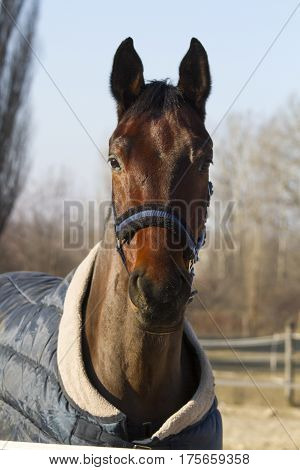 Portrait of thoroughbred saddle horse in bridle and blanket at animal farm