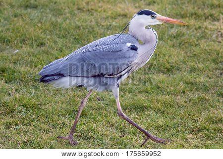 Grey heron (Ardea cinerea) walking, in profile