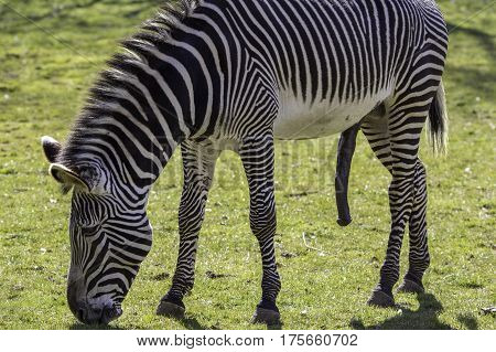 This (male) Grevys zebra (Equus grevyi) is sexually aroused and hung like a donkey! Although grazing its large penis suggests that it may be thinking about mating and sex. poster