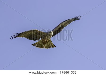 Red kite (Milvus milvus) bird of prey in the air flying against a blue sky providing natural copy space.