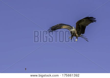 Aerobatic maneuvers from a red kite bird of prey flying at speed to catch meat catapulted into the sky.