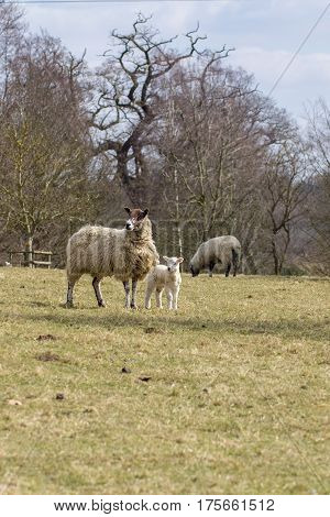 Typical English countryside scene of ewe with lamb in a tree-lined field. Sheep on the hillside.