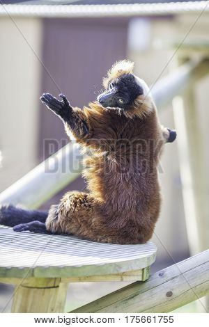 Sun worship from a red ruffed lemur (Varecia rubra). Easy to see how this lemur achieved its beautiful bronze sun tan.