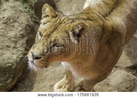 Beautiful healthy lion in close up from above. This sub-Saharan African lioness is attentive standing on rocks