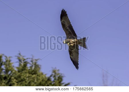 Red kite bird of prey feeding on the wing. Magnificent bird with wings spread holding food and eating in flight.