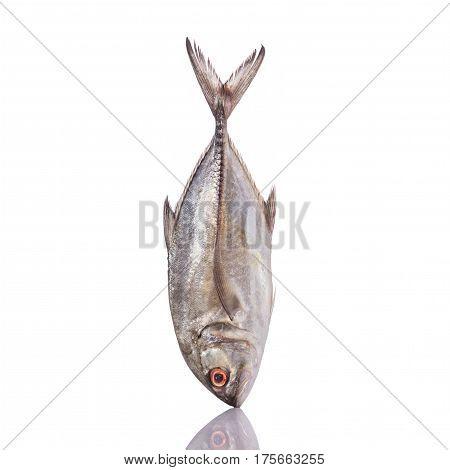 Giant Trevally, Giant Kingfish Or Caranx. Studio Shot Isolated On White