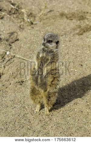 Pregnant meerkat standing tall on tiptoes to keep watch.