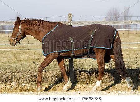 Saddle horse walking in bridle and blanket at animal farm