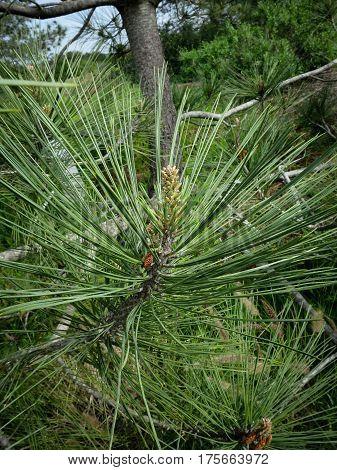 Closeup of branch and needles of the rare, endemic Torrey pine tree (Pinus torreyana) in Torrey Pine State Reserve, La Jolla, California