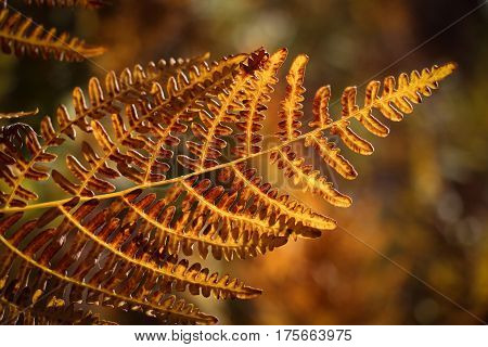 Closeup of bracken fern (Pteridium aquilinum) turning yellow in the autumn in Palomar Mountain State Park, California
