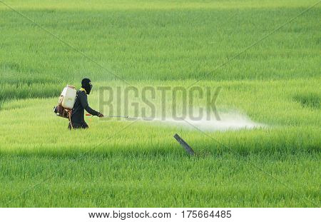Thai farmer using pesticide in the rice paddy field poster