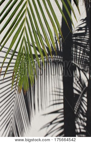 Green palm frond hanging down in front of white stucco wall with palm frond and trunk shadows in background.