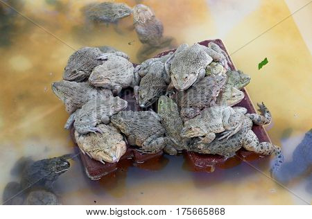 Frog farming / Raising frogs in limited area