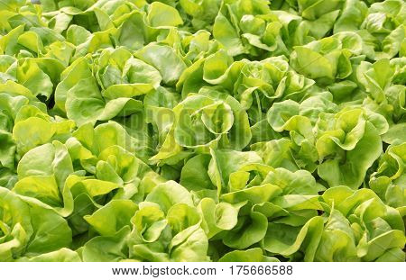Butterhead vegetable in the farm for background