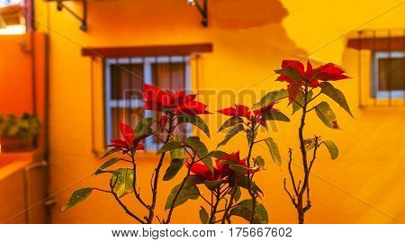 Colorful Red Poinsettas Yellow Wall Blue Window Guanajuato Mexico