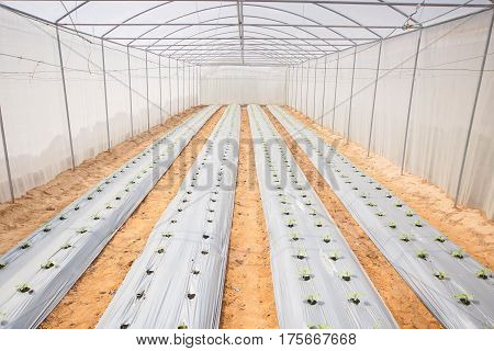 Agriculture. Inside view of a green house for planting organic vegetables