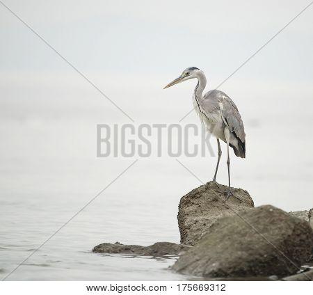 Portrait of natural grey heron