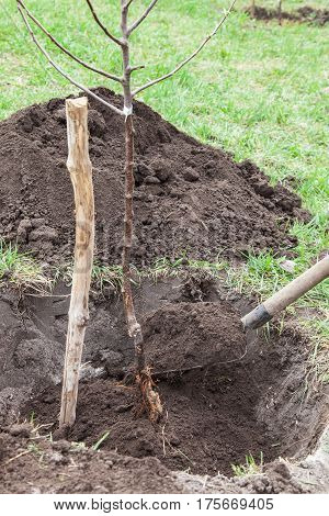 Planting fruit tree saplings in landing pit outdoors closeup gardener fills pit with soil