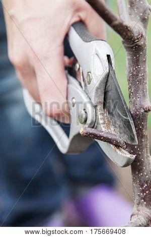 Pruning of tree seedlings after planting gardener cuts knot on saplings of fruit trees