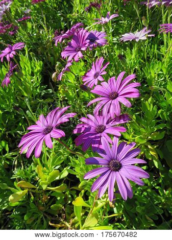 Closeup of purple daisy ground cover (Osteospermum) on a hillside, several large flowers dominate picture