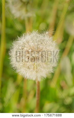 Dandelion fuzz swelled. Dandelion seeds blowing away across a  green background
