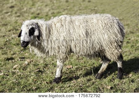 Sheep (Ovis aries) from Mongolia. Ewe shown in profile with shaggy wool coat.