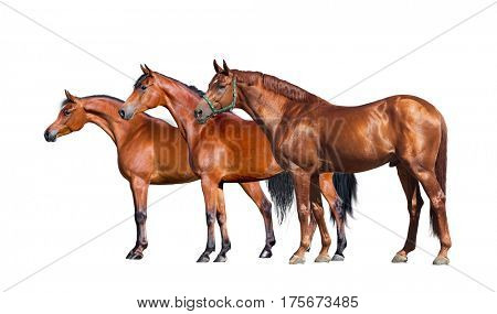 Horses isolated on white. Group of three horses standing on white background. Side view