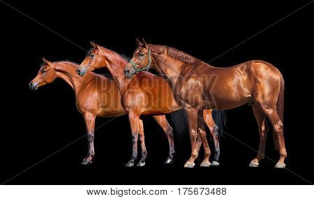 Horses isolated on black. Group of three horses standing on black background. Side view
