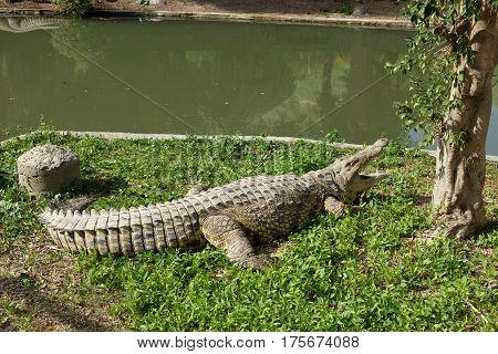 Nile Crocodile in the farm Hamat Gader