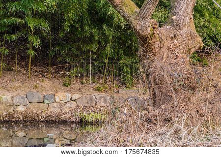 Large old tree surrounded by dry grass in front of a garden of young bamboo shoots separated by a small stone wall