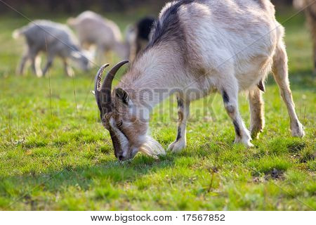 Little horned goats grazing on green meadow poster