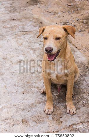 thai brown stray dog , animal pet