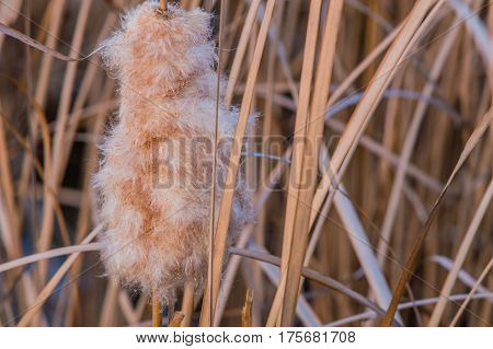 Cat-of-nine-tails surrounded by tall brown grass in woodland park