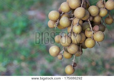 Longan orchards - Tropical fruits young longan in Lamphun Thailand