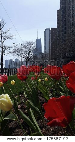 beautiful lovely red tulip flowers John Hancock Center in the background