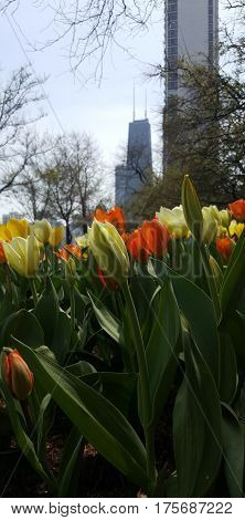 happy tulip flowers beautiful yellow and orange John Hancock Center in the background