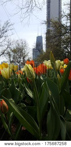 lovely yellow and orange tulip flowers with John Hancock Center in the background