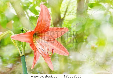 Orange Flowers Hippeastrum Or Amaryllis In Nature Garden Background, Amaryllidaceae, Blossom Flowers