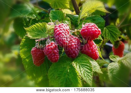 Raspberriy. Growing Organic Berries closeup. Ripe raspberry in the fruit garden