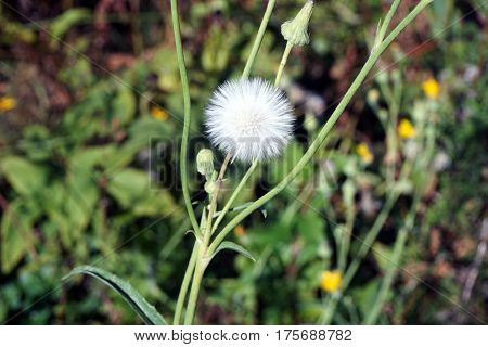 A seed head of the field sow thistle (Sonchus arvensis), also called corn sow thistle, dindle,gutweed, swine thistle, tree sow thistle, and field milk thistle, during June in Joliet, Illinois.