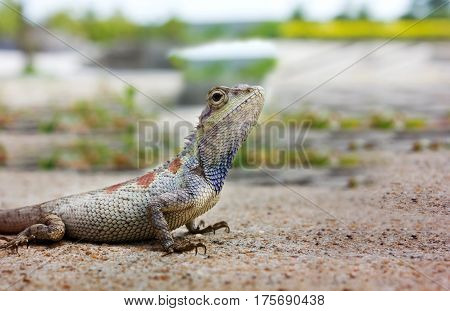 Closeup chameleon or tree lizard on the floor wild chameleon in blurred nature background