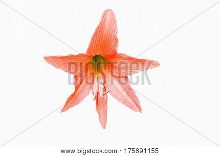 Orange Flowers Hippeastrum Or Amaryllis In Nature Home Garden Background, Amaryllidaceae, Blossom Fl