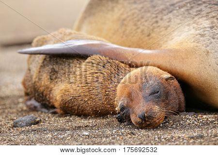 Young Galapagos Sea Lion Lying With Mother On Santiago Island, Galapagos National Park, Ecuador