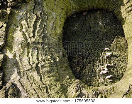 stara rana na drzewie porośnięta mchem i grzybami